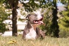 Amerikaanse Staffordshire terriër die bij een park rusten die van het ogenblik genieten Royalty-vrije Stock Afbeeldingen