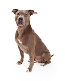 Amerikaanse Staffordshire Terrier Hondzitting Stock Foto