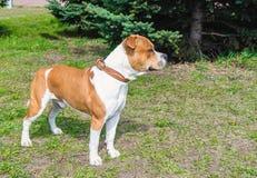 Amerikaanse Staffordshire Terrier sideview Stock Afbeeldingen