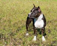 Amerikaanse Staffordshire Terrier tribunes Royalty-vrije Stock Foto