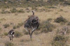 Amerikaanse struisvogel Royalty-vrije Stock Foto