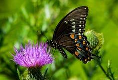Amerikaanse Swallowtail Stock Afbeeldingen