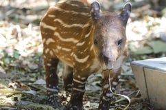 Amerikaanse tapir stock fotografie