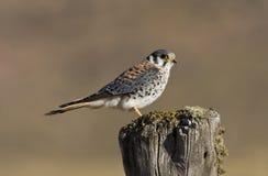 Amerikaanse Torenvalk, американский Kestrel, sparverius Falco стоковая фотография