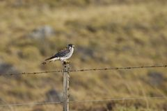 Amerikaanse Torenvalk, cernícalo americano, sparverius de Falco imagen de archivo