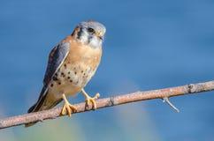 Amerikaanse Torenvalk (falco sparverius) stock afbeeldingen