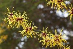 Amerikaanse toverhazelaarbloemen Stock Afbeeldingen