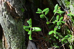 Amerikaanse veenbesbladeren in de holte in het bos Stock Foto's
