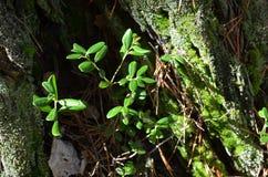 Amerikaanse veenbesbladeren in de holte in het bos Royalty-vrije Stock Afbeeldingen