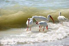 Amerikaanse Witte Ibis Royalty-vrije Stock Afbeeldingen