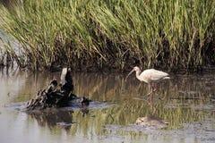 Amerikaanse Witte Ibis 1 Stock Afbeelding