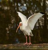 Amerikaanse Witte Ibis Royalty-vrije Stock Afbeelding