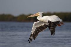 Amerikaanse Witte Pelikaan die vlucht over de Golf van Mexico - Florida nemen royalty-vrije stock foto