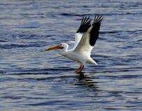 Amerikaanse Witte pelikaan op de Mississippi Royalty-vrije Stock Afbeelding
