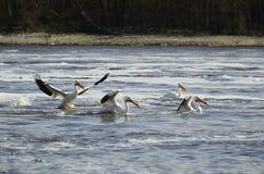 Amerikaanse Witte pelikaan op de Mississippi Stock Afbeelding