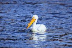 Amerikaanse Witte pelikaan op de Mississippi Stock Foto