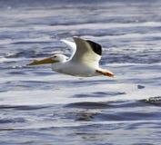 Amerikaanse Witte pelikaan op de Mississippi Stock Afbeeldingen
