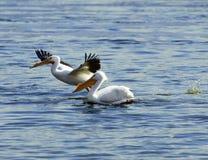 Amerikaanse Witte pelikaan op de Mississippi Stock Fotografie