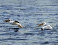 Amerikaanse Witte pelikaan op de Mississippi Royalty-vrije Stock Foto