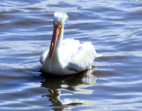 Amerikaanse Witte pelikaan op de Mississippi Royalty-vrije Stock Afbeeldingen