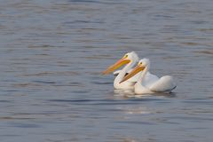Amerikaanse Witte Pelikanen Stock Afbeelding