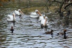 Amerikaanse Witte Pelikanen Royalty-vrije Stock Foto