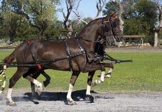 Amerikaanse zadelmakerpaarden Stock Foto