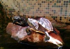 Amerikaanse zoetwater rood-Doen zwellen Eared schildpad geel-doen zwellen schildpad - foto voor tijdschriften over aard royalty-vrije stock afbeelding