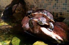 Amerikaanse zoetwater rood-Doen zwellen Eared schildpad geel-doen zwellen schildpad - foto voor tijdschriften over aard royalty-vrije stock afbeeldingen