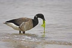 Amerikaanse Zwarte gans (Branta berniclahrota) Royalty-vrije Stock Foto