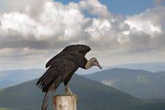 Amerikaanse zwarte gier Royalty-vrije Stock Foto's