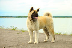 Amerikan Akita Great Japanese Dog Royaltyfria Bilder