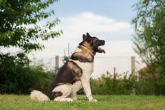 Amerikan Akita Guard Dog Fotografering för Bildbyråer