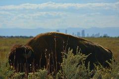 Amerikan Bison Buffalo med Denver, Colorado och berg som är synliga i avståndet Arkivbild