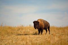 Amerikan Bison Buffalo på en stads- djurlivsylt Arkivfoton