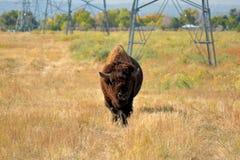 Amerikan Bison Buffalo på en stads- djurlivsylt Fotografering för Bildbyråer