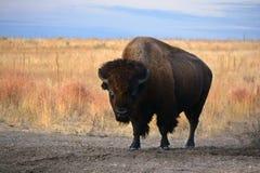 Amerikan Bison Buffalo på prärien Royaltyfri Bild