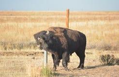 Amerikan Bison Buffalo Scratches en klåda på en metallstolpe Fotografering för Bildbyråer