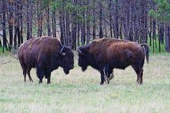 Amerikan Bison Buffalo som vänder mot av i vindgrottanationalpark arkivfoton