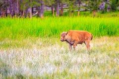Amerikan Bison Calve Arkivfoto