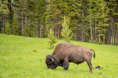 Amerikan Bison Feeding i grässlättarna arkivbilder