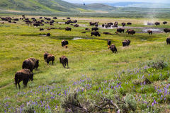 Amerikan Bison Herds Arkivfoto