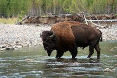 Amerikan Bison Walking i vatten Arkivbilder