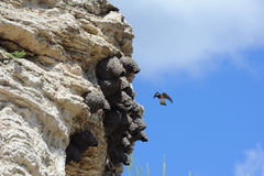 Amerikan Cliff Swallow i Yellowstone Arkivfoton