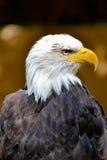 Amerikan Eagle Fotografering för Bildbyråer
