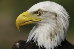 Amerikan Eagle Portrait Arkivfoto