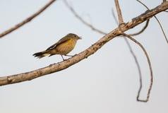 Amerikan Redstart på en fatta Royaltyfri Foto