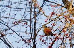 Amerikan Robin royaltyfria foton