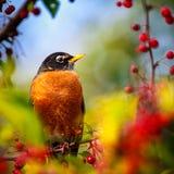 Amerikan Robin perched i en tree Royaltyfri Bild