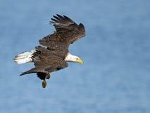Amerikan skalliga Eagle Dive arkivbilder